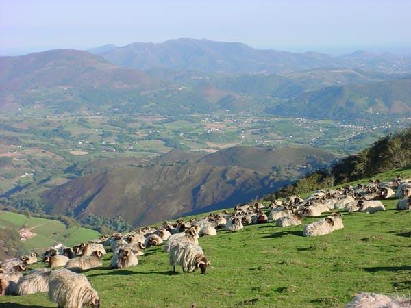 Sheep04085