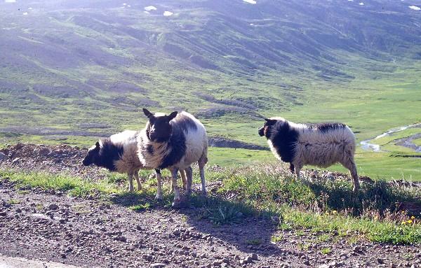 Sheep13B